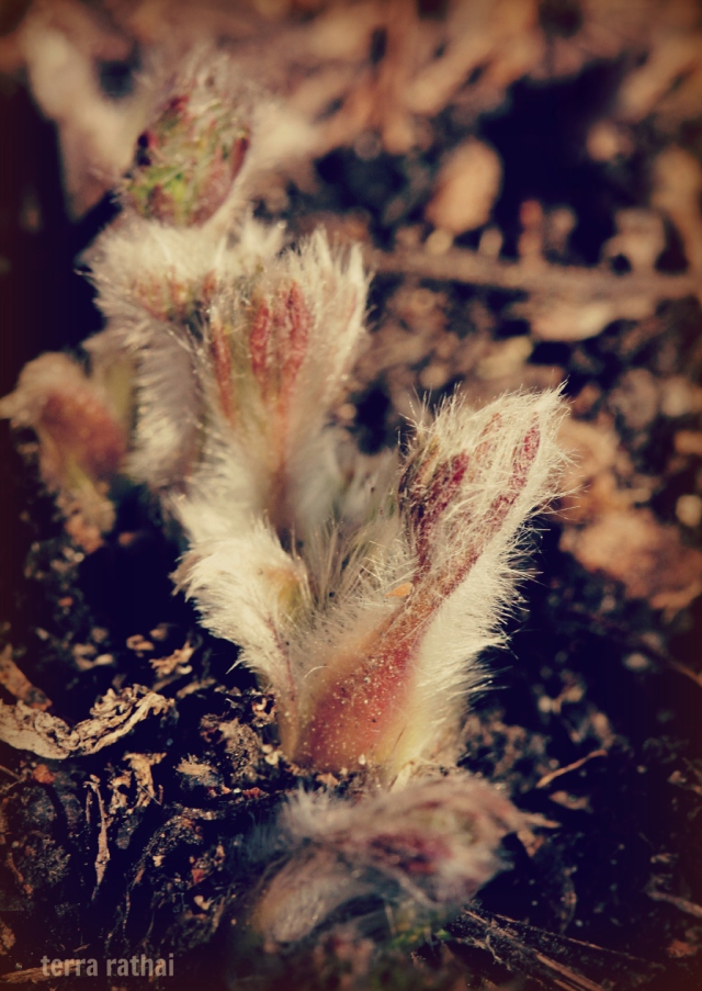 blog042713_pasque flowers