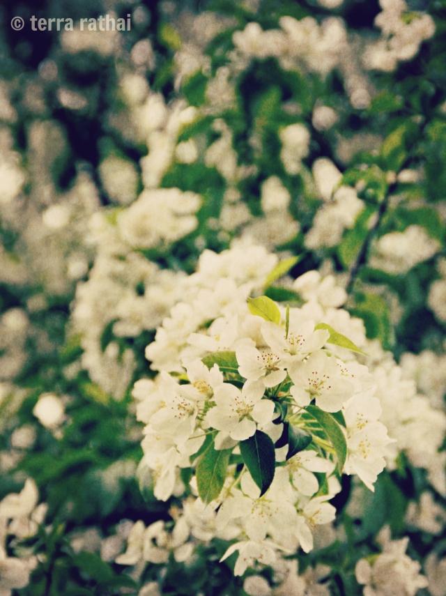 blog052213_flowering tree 02