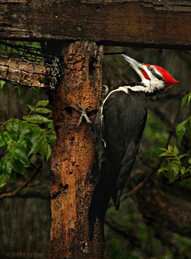 blog052813_pileated woodpecker