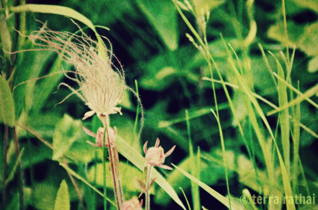 blog0513_prairie smoke