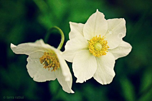 blog053013_white woodland flowers