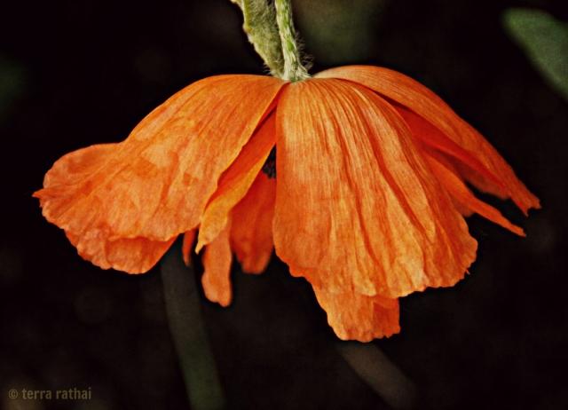 blog061413_orangepoppy