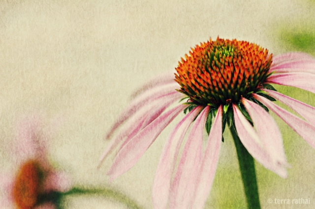 blog071613_coneflowers