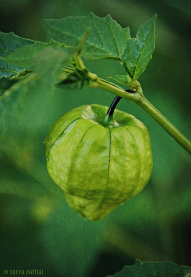 blog080113_tomatillo