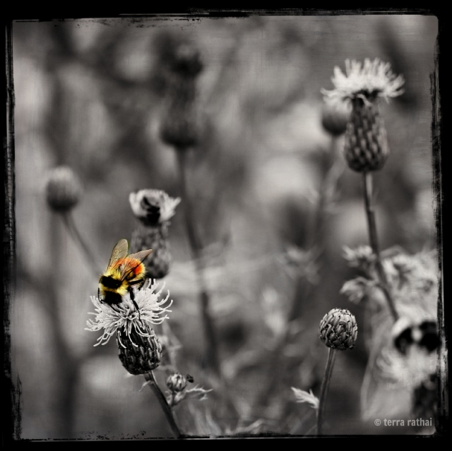 blog081213_bee on b&w thistles