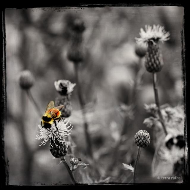 blog081213_bee on b&w thistles