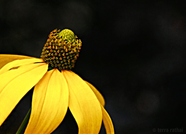 blog0816113_wildconeflower