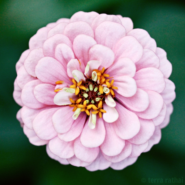 blog082013_perfect zinnia