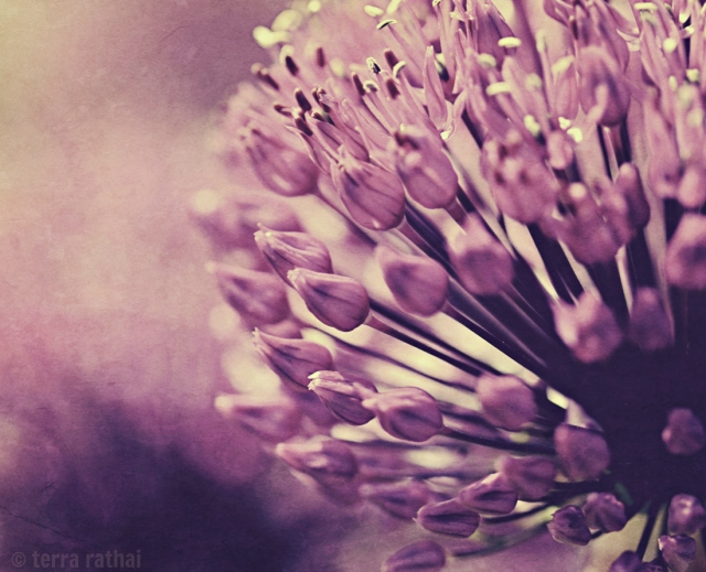 blog082213_alliums
