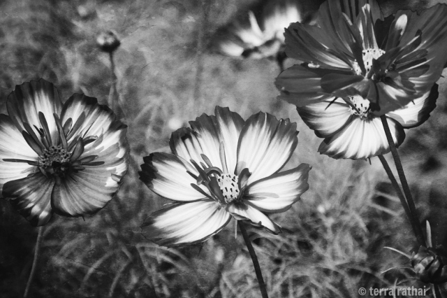 blog082413_black&whitecosmos