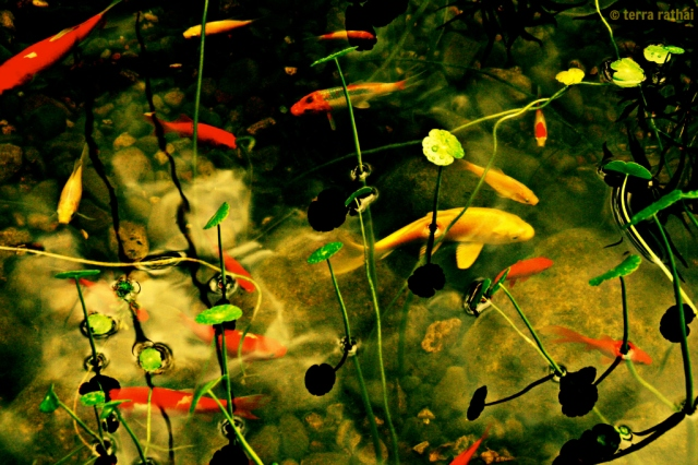 blog083113_koi@coffman