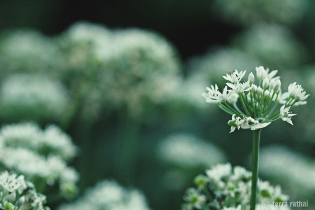 blog091013_allium blossom