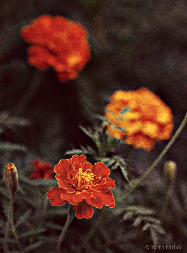 blog091713_orangemarigolds