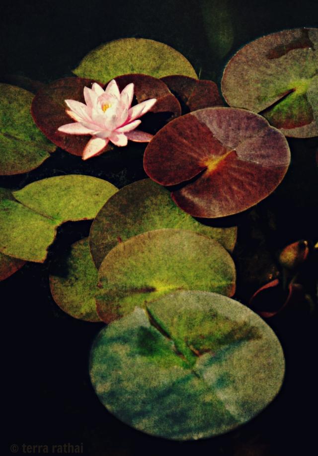 blog_pinkwaterlily