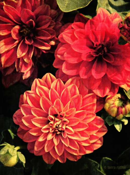 blog_reddahlias