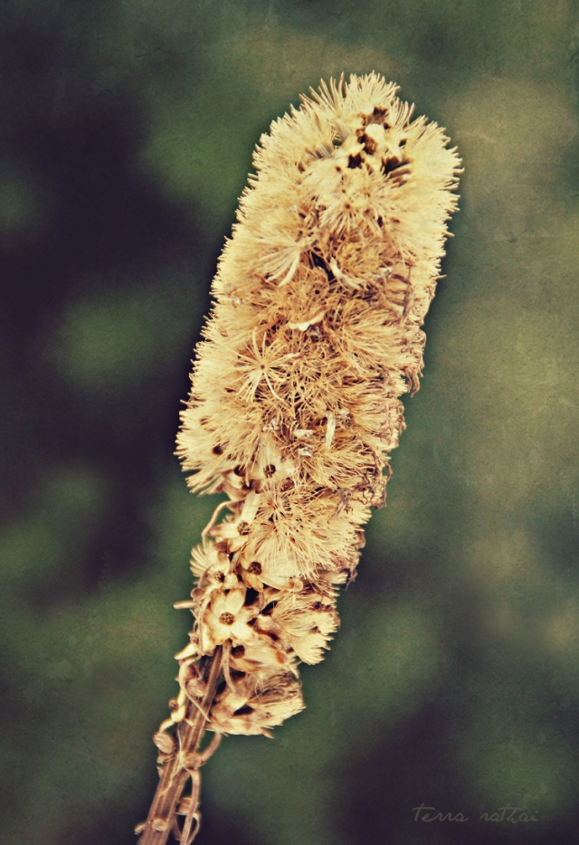 blog012515_liatris stalk