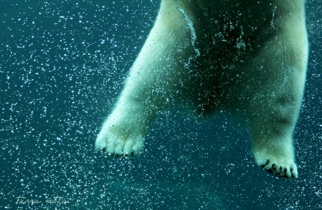 blog021515_polarbear