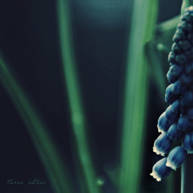 blog031315_grapehyacinth