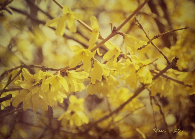 blog041415_forsythia