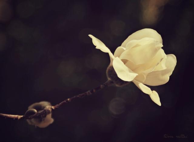 blog041815_magnolia