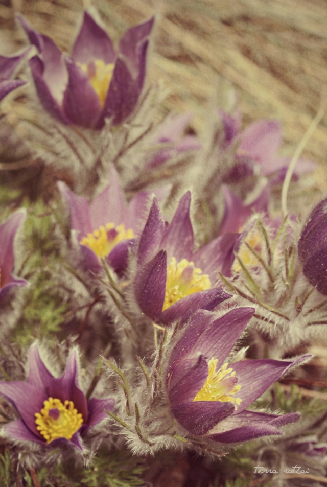 blog_041615_pasqueflowers