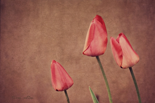 blog_043015_threeredtulips