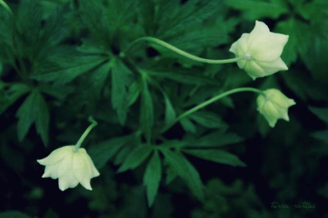 blog050815_anemones