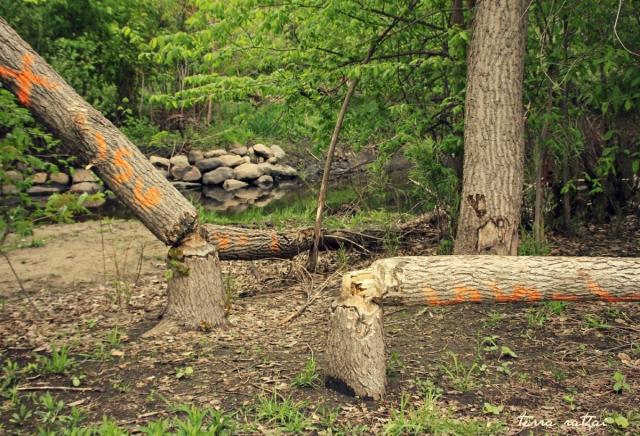 blog051215_beaver trees