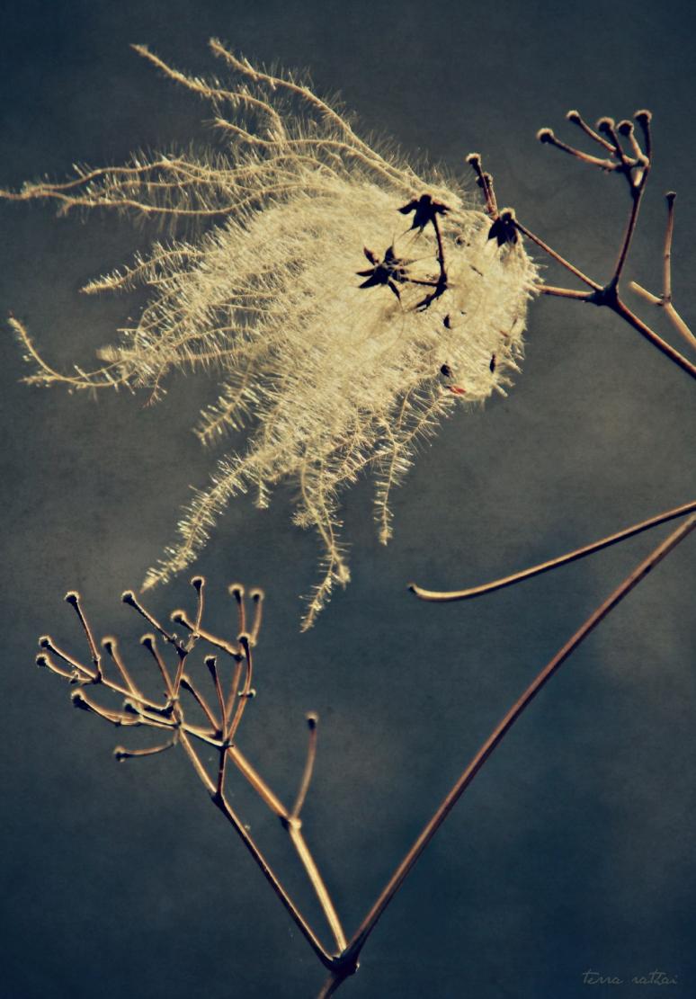blog052015_clematis-seeds