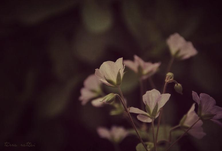 blog052215_wild-geraniums