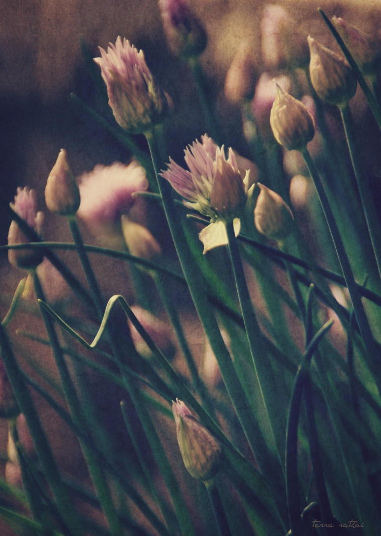 blog052615_chive flowers