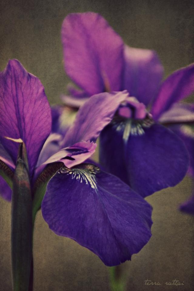 blog060515_siberian-iris