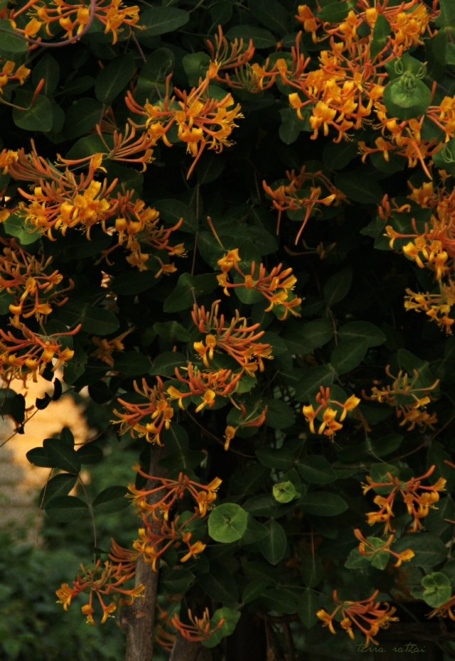 blog061015_mandarin-honeysuckle