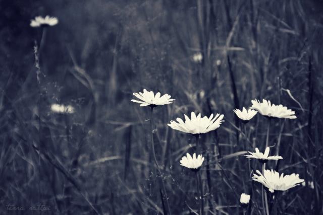 070615_wild-daisies