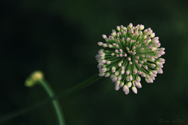 blog071915_allium & bud