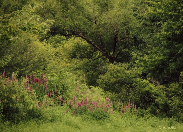 blog080715_purple-loosestrife