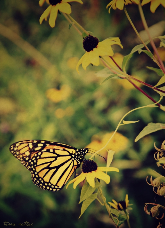 blog081815_monarch