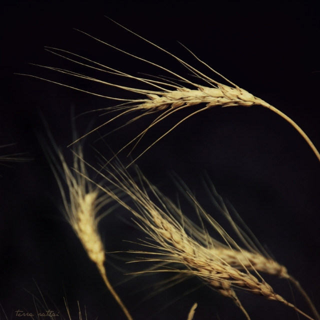 blog082315_wheat