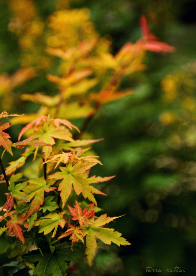 blog082515_korean-maple-early-fall