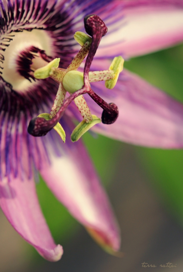 blog082815_passion-flower