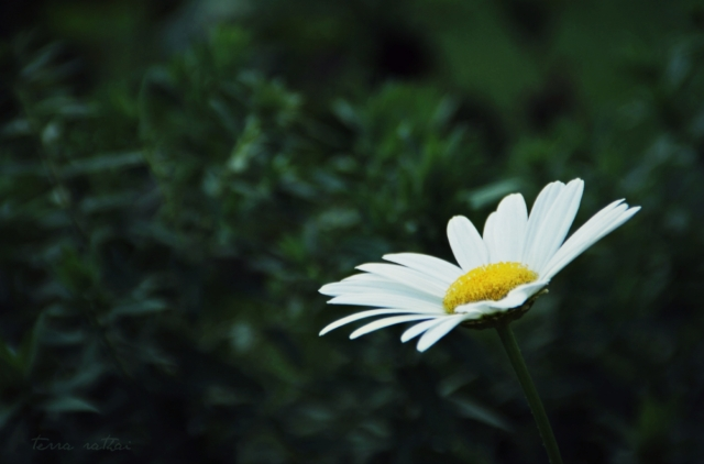 blog090415_lone-daisy