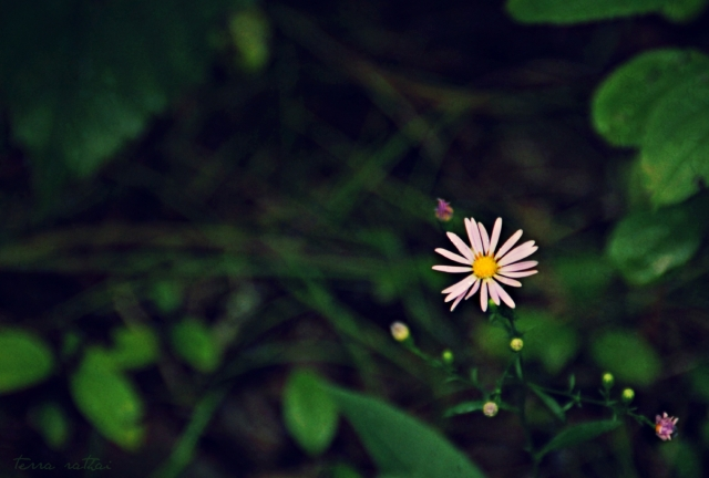 blog090715_purple-woods-aster