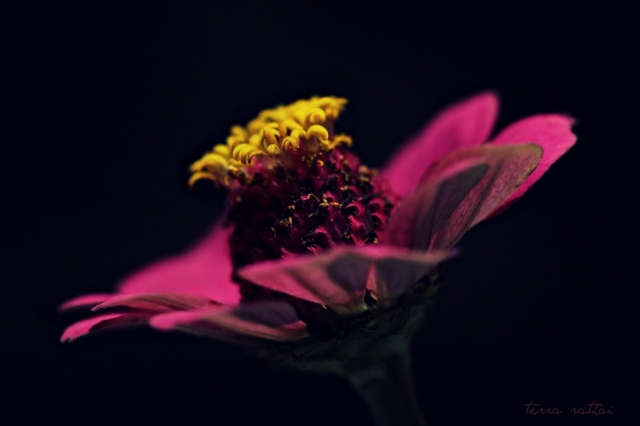 blog091115_Zinnia-in-studio