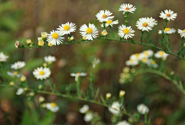white prairie asters