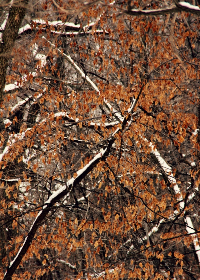 online011317_oaks-snow-trees