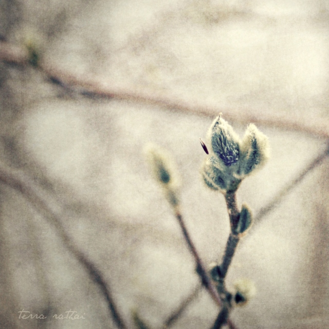 online_magnolia-buds-square