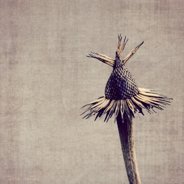 online030217_echinacea-seed-head