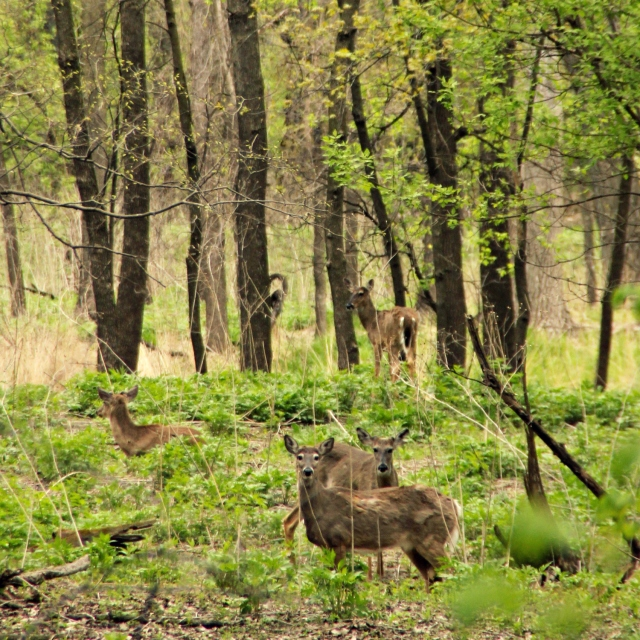 online043017_pike-island-deer.jpg