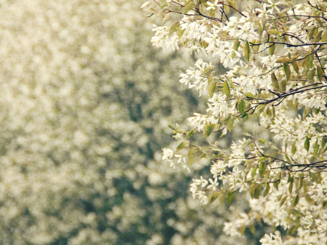 online050117_white-blooming-trees
