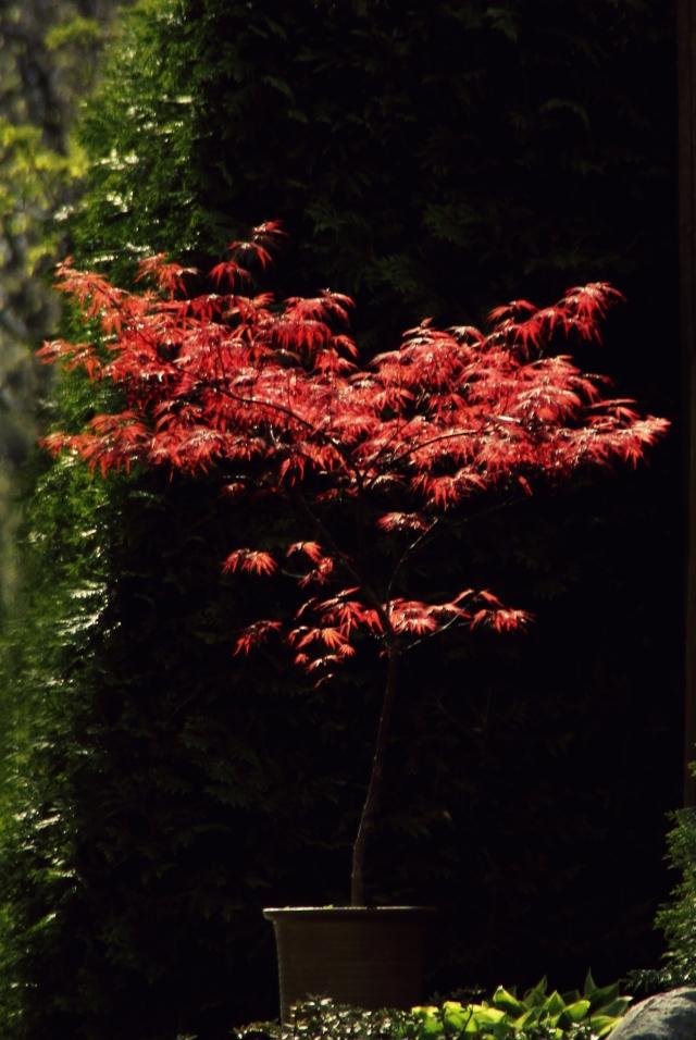 online050517_japanese-maples